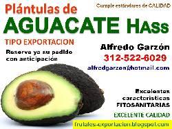 Semillas aguacate hass semillero pl ntulas plantas bogota for Viveros frutales bogota