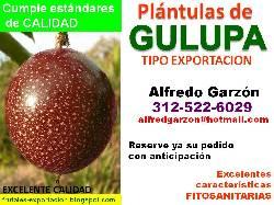 Semillas gulupa semillero pl ntulas plantas vivero bogota for Viveros frutales bogota