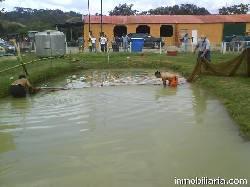 Pesca de cachamas lagunas destino rural lomas nirgua Lagunas para cachamas