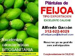 Semillas feijoa semillero pl ntulas plantas vivero bogota for Viveros frutales bogota